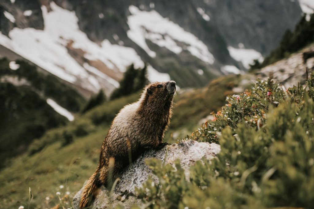 a marmot in the north cascades national park
